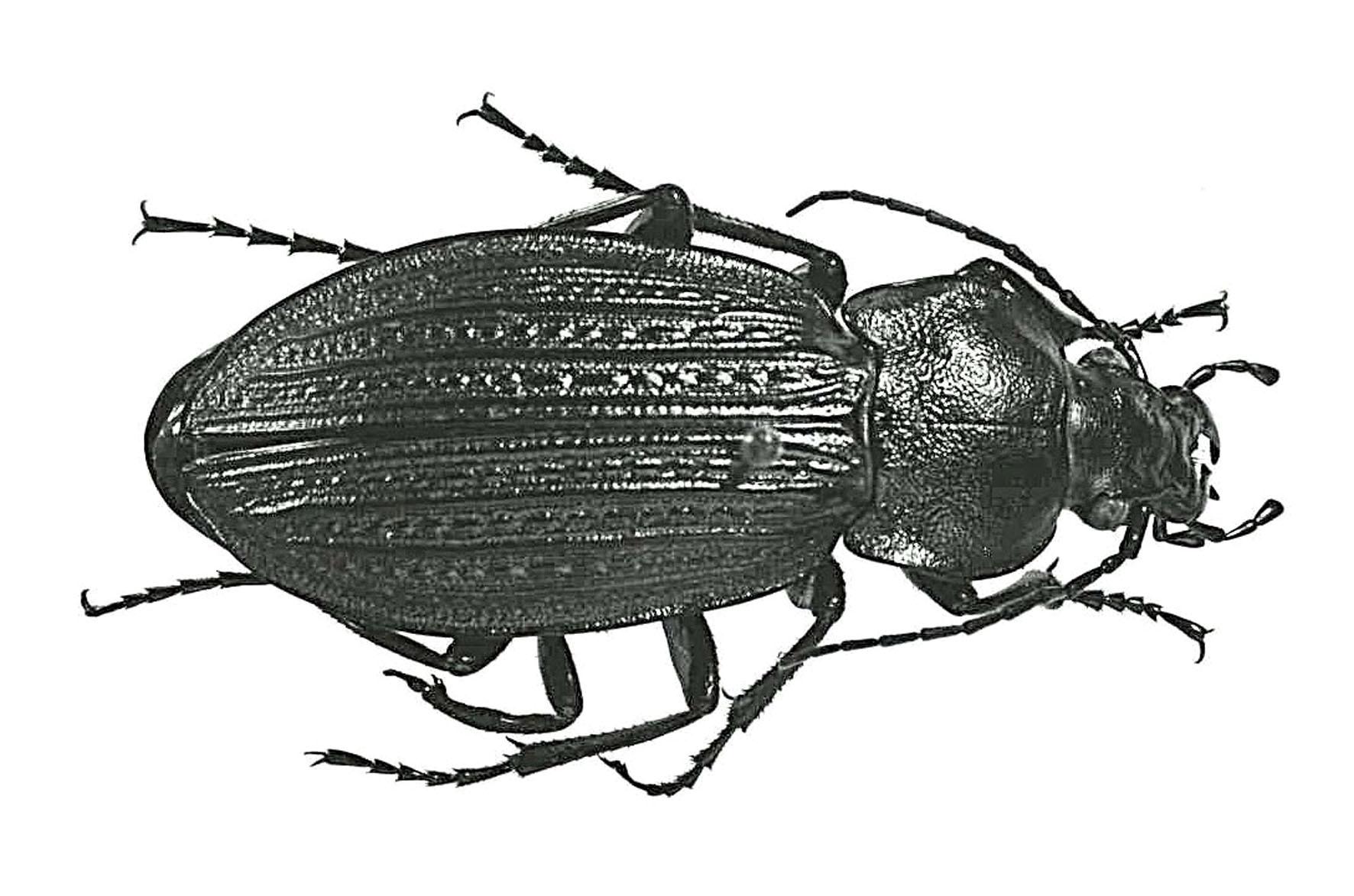Insekt Käfer